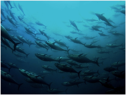 bluefin tunas Oversized fishing boats threaten tunas in the Mediterranean
