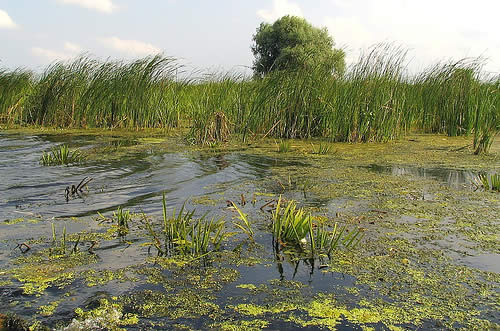 Danube Delta reed