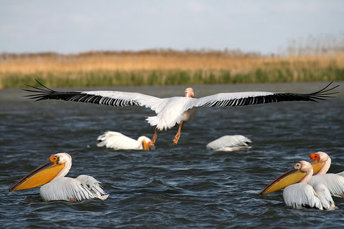 Common pelican in the Danube Delta