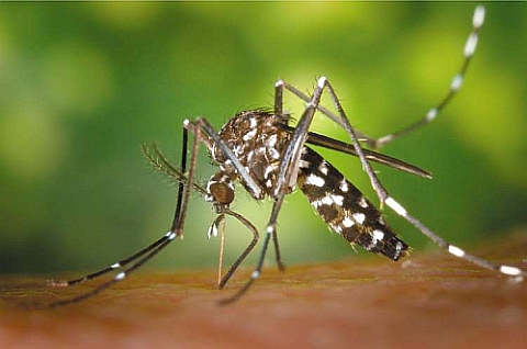 asian tiger mosquito Disease Risk: The Tiger Mosquito Invades Britain