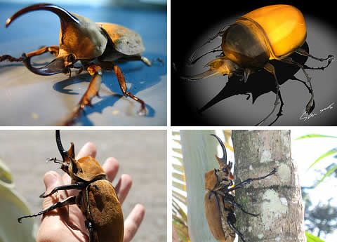 megasoma elephas elephant beetle Five Generally Acknowledged Giant Insects in the World
