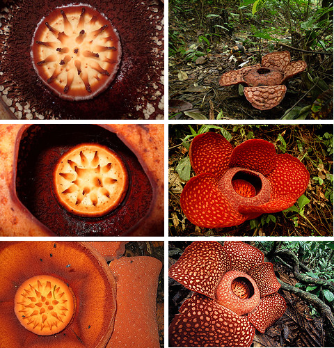 rafflesia arnoldii largest flower What is the largest flower in the world?