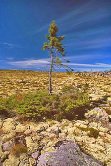 spruce sweden dalarma [New] Oldest Living Tree in the World is in Sweden