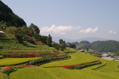 Rice Terraces in Asuka, Japan
