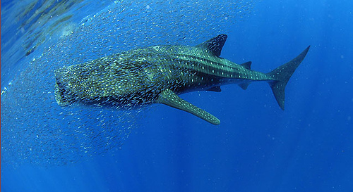 Whale Shark