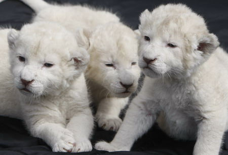 whitelioncub1 Three White Lion Cubs Looking for a Home