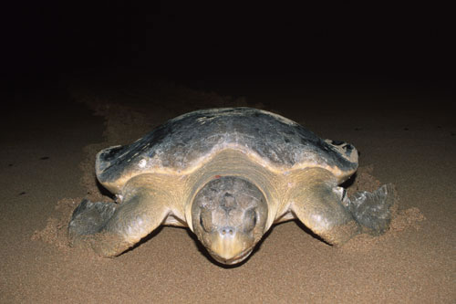 flatback sea turtle Sea Turtles   Endangered Marine Life