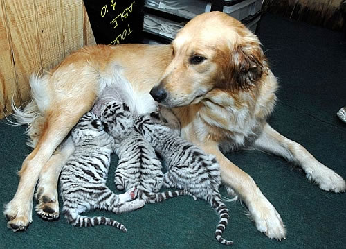 golden retriever nurses white tiger cubs Golden Retriever Nurses Abandoned White Tiger Cubs