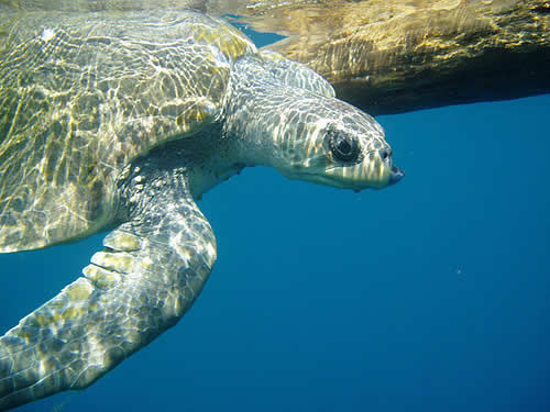Pacific Ridley Sea Turtle