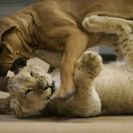puppy-vs-lion-cub-1