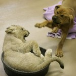 puppy-vs-lion-cub-14