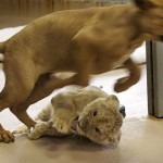 puppy-vs-lion-cub-2