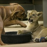 puppy-vs-lion-cub-3