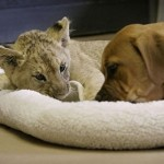 puppy-vs-lion-cub-4