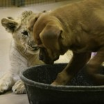 puppy-vs-lion-cub-7