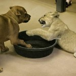 puppy-vs-lion-cub-8