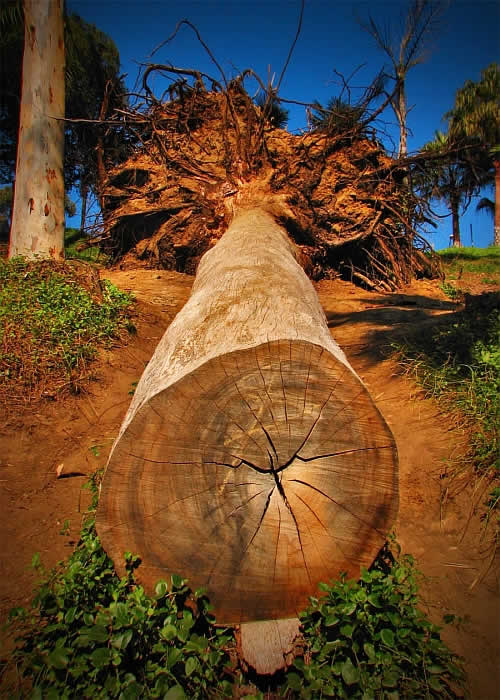 fallen tree in balboa park Supernatural Power Creates Crop Circle from 3,000 Trees