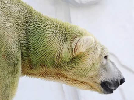 green polar bear 1 Polar Bears with Algae dyed Green Fur