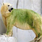 green polar bear 150x150 Polar Bears with Algae dyed Green Fur