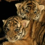 tigercub 150x150 Tiger Woods and Madonna Give Birth to South China Tiger Cubs