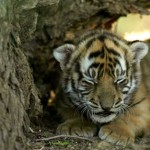 tigercub1 150x150 Tiger Woods and Madonna Give Birth to South China Tiger Cubs