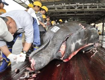 whaleblubber Japanese Say Whales are Losing Blubber