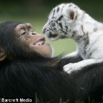 Chimp Anjana Surrogate Mom for Two White Tiger Cubs