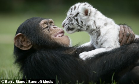 chimp anjana care two white tiger cubs 1 Chimp Anjana Surrogate Mom for Two White Tiger Cubs