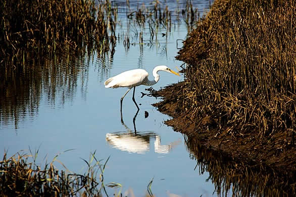 egret hunts for food in lagunitas creek Giacomini Wetlands in Northern California, Getting Back to Natural