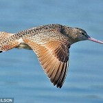record breaker a bar tailed godwit 150x150 Longest Bird Flight : Bar tailed Godwit Flew Without Stop for 6,230 miles in 8 days