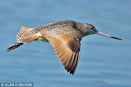 record breaker a bar tailed godwit Longest Bird Flight : Bar tailed Godwit Flew Without Stop for 6,230 miles in 8 days