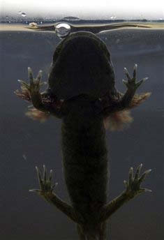 axolotl salamander ambystoma mexicanum 1 Water Monster, Axoloti, of Mexico City Nears Extinction