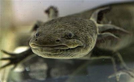 axolotl salamander ambystoma mexicanum 2 Water Monster, Axoloti, of Mexico City Nears Extinction