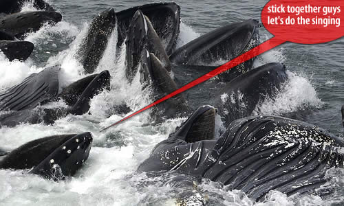 humpback whales feeding Why Do Whales Sing? Underwater Serenades or Biological Sonar?