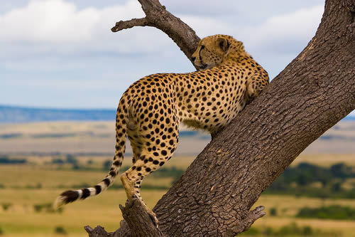cheetah 3 Worlds Fastest Land Animal Not Fast Enough to Stay off Endangered Species List