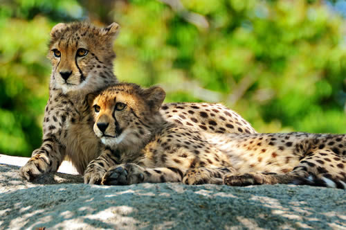 cheetah cubs 1 Worlds Fastest Land Animal Not Fast Enough to Stay off Endangered Species List