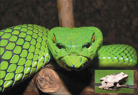 Gumprechts green pitviper and a Theloderma licin