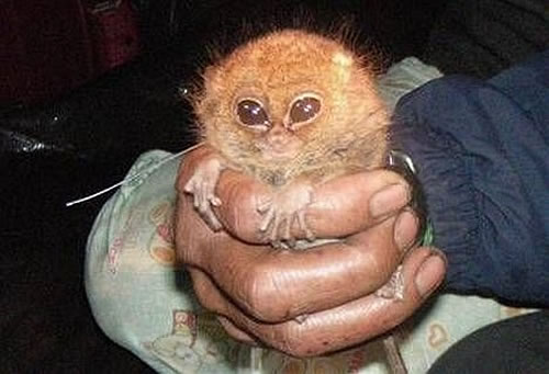 indonesia pygmy tarsier Pygmy Tarsiers Reappear Dramatically After 80 Years of Disappearance