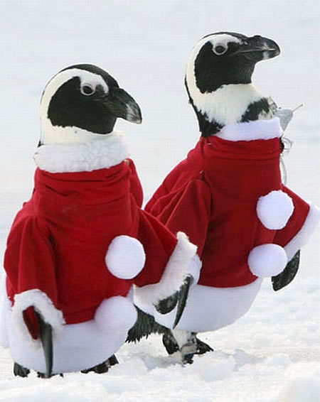 santa claus penguins Penguins in Santa Claus Outfits