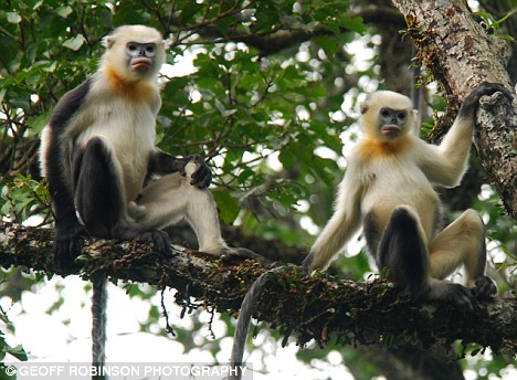 snub-nosed monkeys recognize people as a