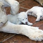 white lion cubs 150x150 Rare White Lion Cubs Born at Belgrade Zoo Reminds Us There is Hope