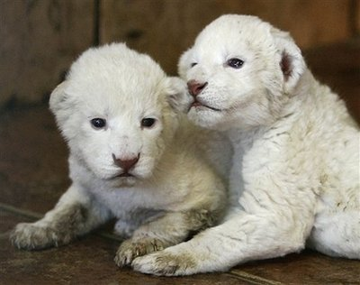 white lion cubs2 Rare White Lion Cubs Born at Belgrade Zoo Reminds Us There is Hope