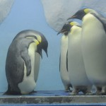emperor-penguin2