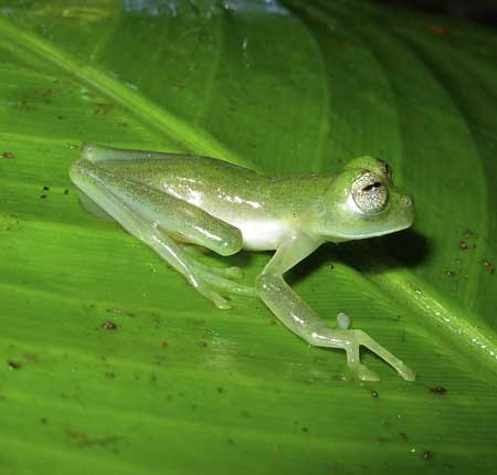 nymphargus genus 10 New Amphibian Species Discovered in Colombia