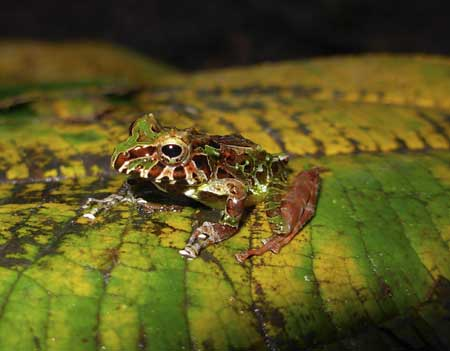 pristimantis genus 10 New Amphibian Species Discovered in Colombia