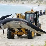 beached whales 1 150x150 Stranded Whales Rescued off SW Australia