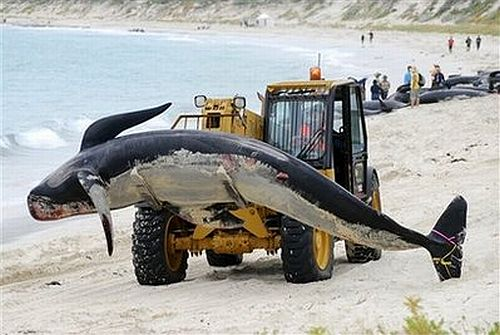 beached whales 1 Stranded Whales Rescued off SW Australia