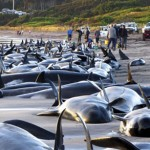 pilot whale 150x150 200 pilot whales stranded in Australia