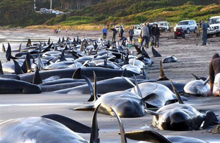 pilot whale 200 pilot whales stranded in Australia
