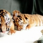 siberian tiger cubs 2 150x150 We Love Baby Animals   Tigers, Hippos, Elephants and Snow Monkeys